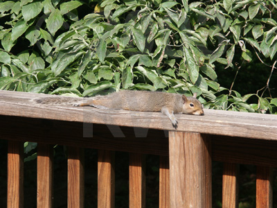 flat squirrel
